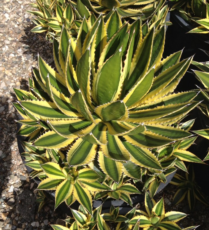 Agave Quadracolor