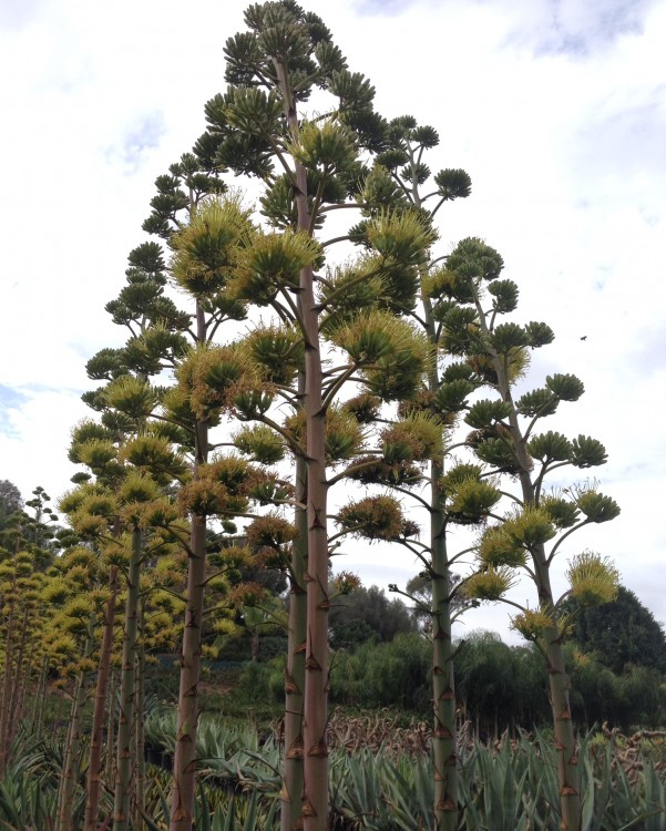 Giant Agave Blooms