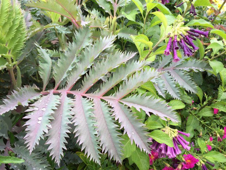 Melianthus 'Purple Haze'