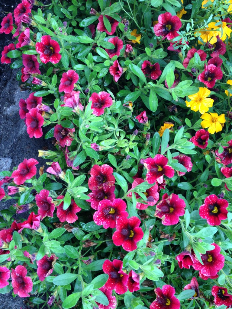 Calibrachoa Pomengranate Punch