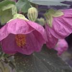 abutilon_pink_parasol1