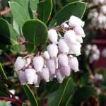 arctostaphylos_densiflora_howard_mcminn3