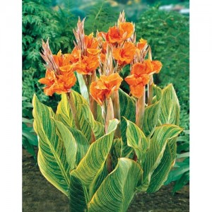 canna_lilly_plant