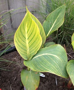 Canna Pretoria adds drama right after planting