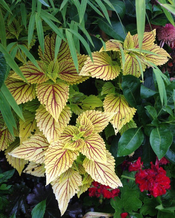 coleus_golden_dream