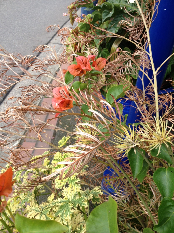 Best Foliage Ever Grevillea Long John Petula