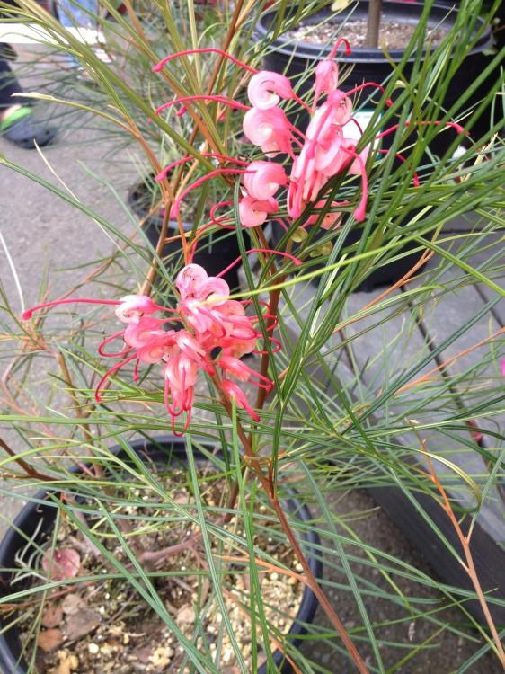 Grevillea Long John blooms