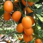 marumi-citrus