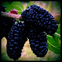 mulberry-black-everbearing-indigoed