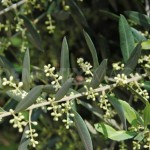 olive-tree-in-flower