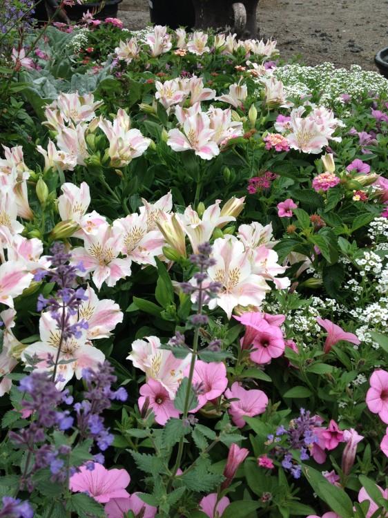 petunia_orchid charm-alstromeria