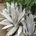 stachys bella grigio year 2